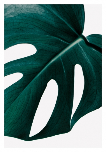 MONSTERA PLANT NO4