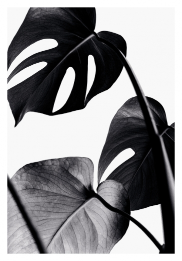 BLACK MONSTERA ONE