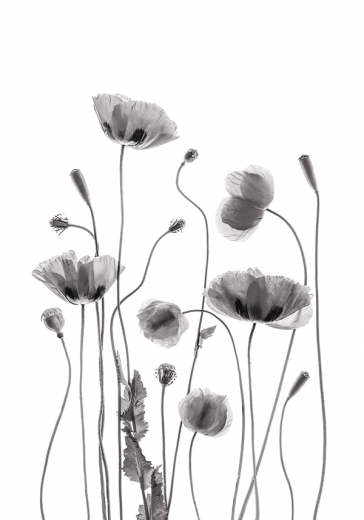 B&W POPPY FLOWERS ONE