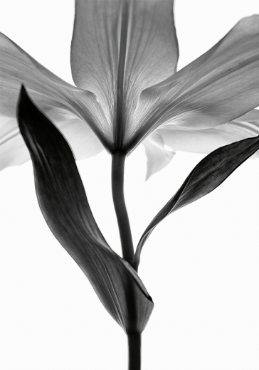 Lily monochrome two