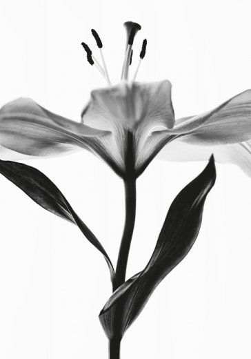 Lily monochrome one