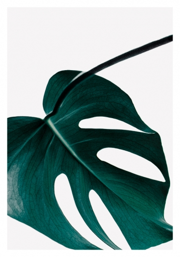 MONSTERA PLANT NO5