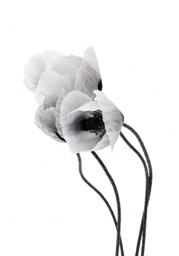 GREY POPPY FLOWER TWO