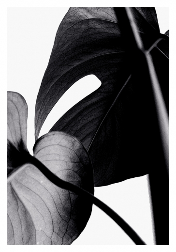BLACK MONSTERA TWO