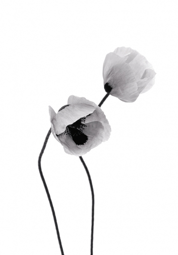 GREY POPPY FLOWERS ONE