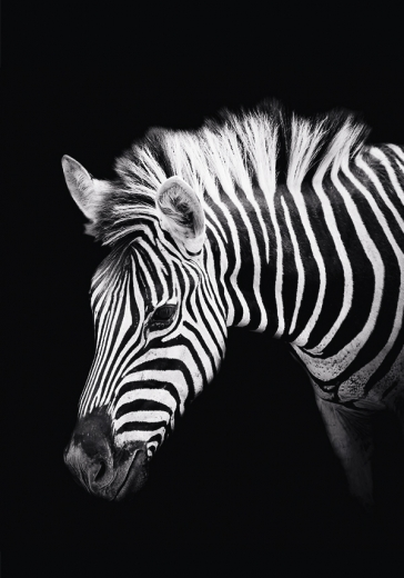 ZEBRA THREE